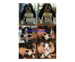 Vendo american bully pocket