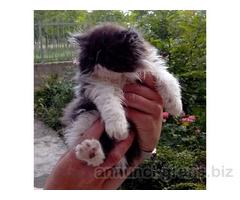 cuccioli di gatto persiano