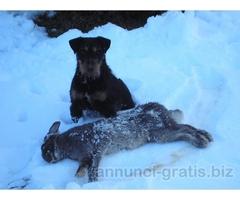 deutscher jagd terrier