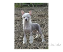 CUCCIOLI CHINESE CRESTED DOG
