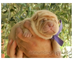 Sharpei cuccioli con pedigree
