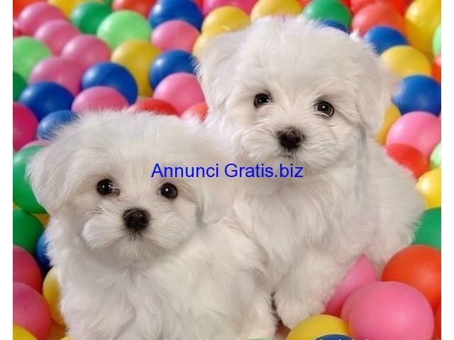 Regalo maltesi mini toy genova annunci gratis pubblica for Regalo annunci