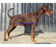 dobermann femmina