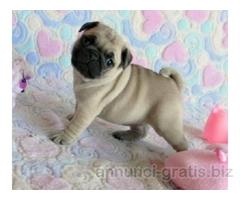 Adorabili Carlino cuccioli femmina e maschio disponibili per   l'adozione gratuita
