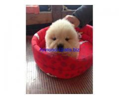 Bellissima cucciola di chow chow panna prezzo speciale