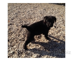 Cuccioli di Labrador Retriever con pedigree