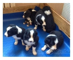 ((((per l'adozione))) Splendidi Cuccioli di Border Collie