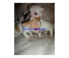 Super maschio piccolo e Cuccioli femminile Chihuahua