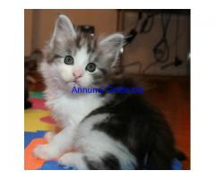 REGALO MASCHIO E FEMMINE MAINE COON DISPONIBILI