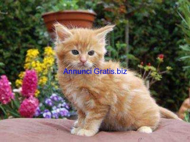 Regalo bellissimi gattini di maine coon milano annunci for Cerco moto gratis in regalo