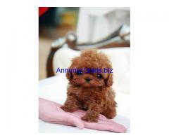 cuccioli di Poodle toy e mini toy