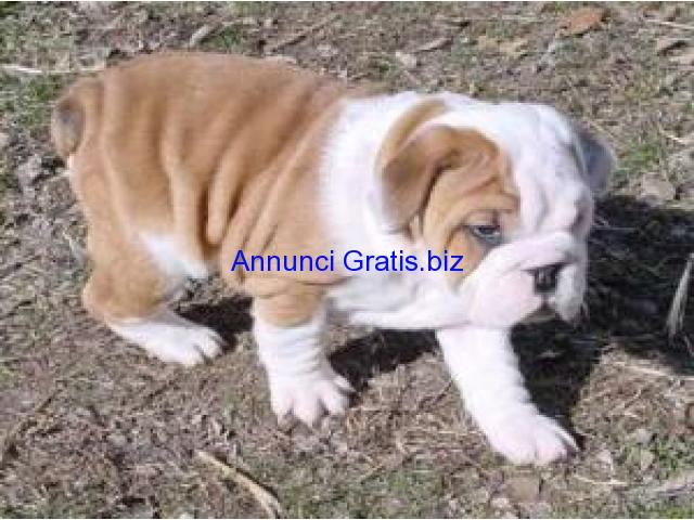 Regalo cuccioli bulldog regalo bulldog francese clasf for Regalo offro gratis