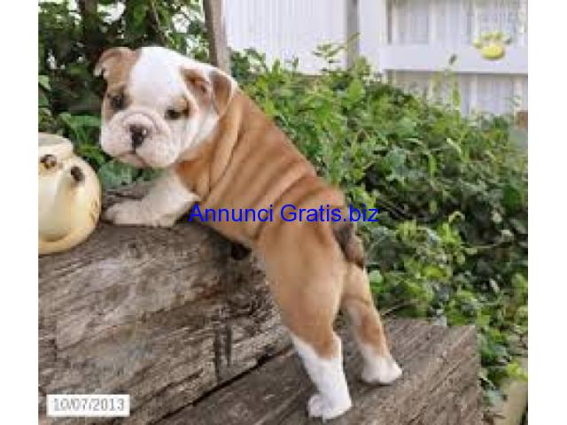 Regalo bulldog inglese cuccioli disponible per l 39 adozione for Cerco moto gratis in regalo