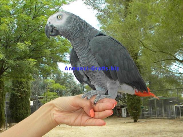 Coppia di parlare cantare e ballare grigio pappagalli africani per l'adozione